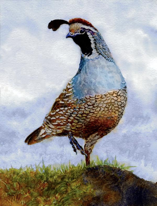 california-quail600