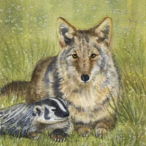 Coyote with badger